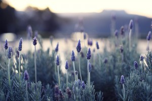 Lavender early morning